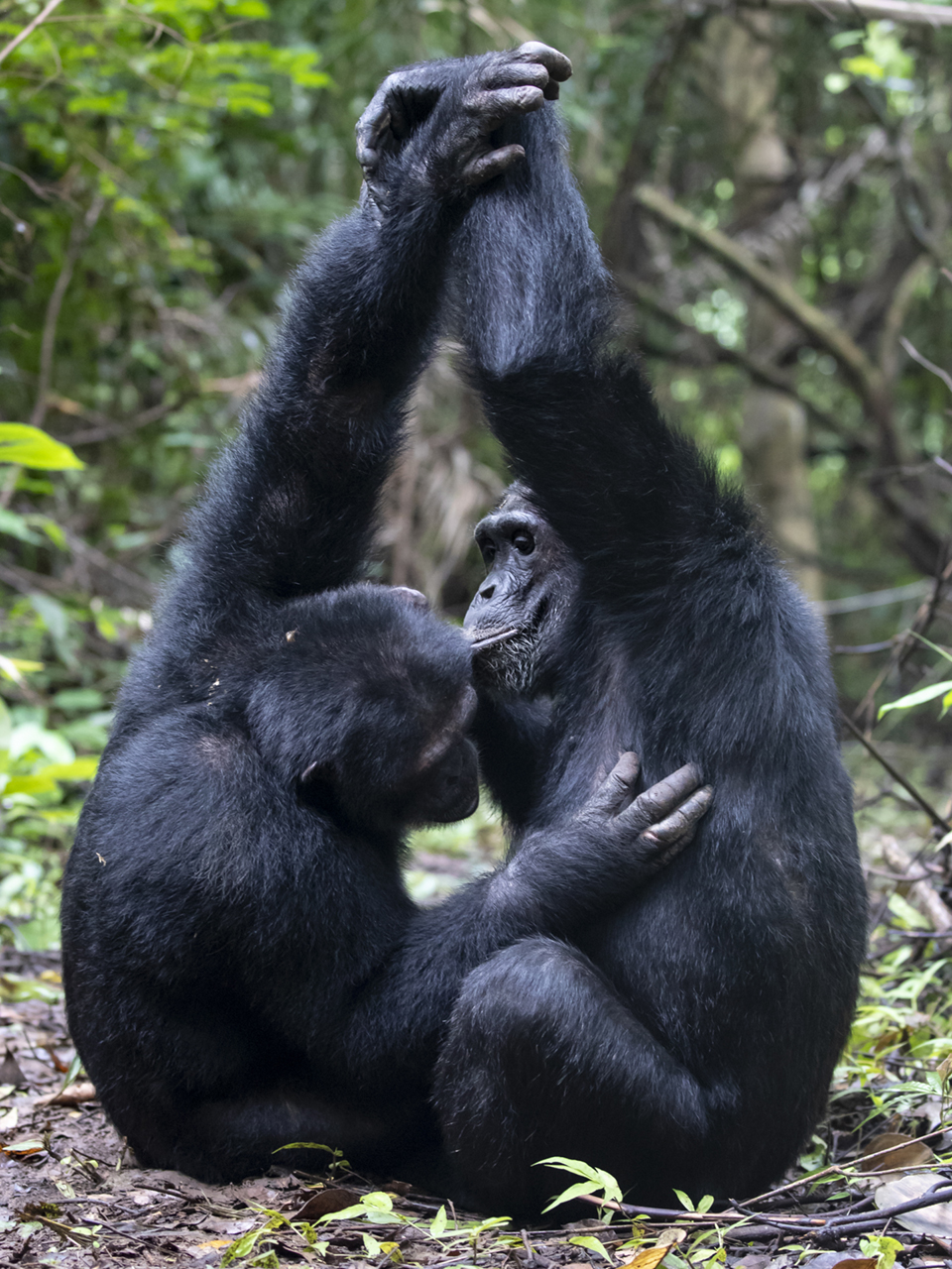 https://www.c4photosafaris.com/uploader/images/Chimps-2.jpg