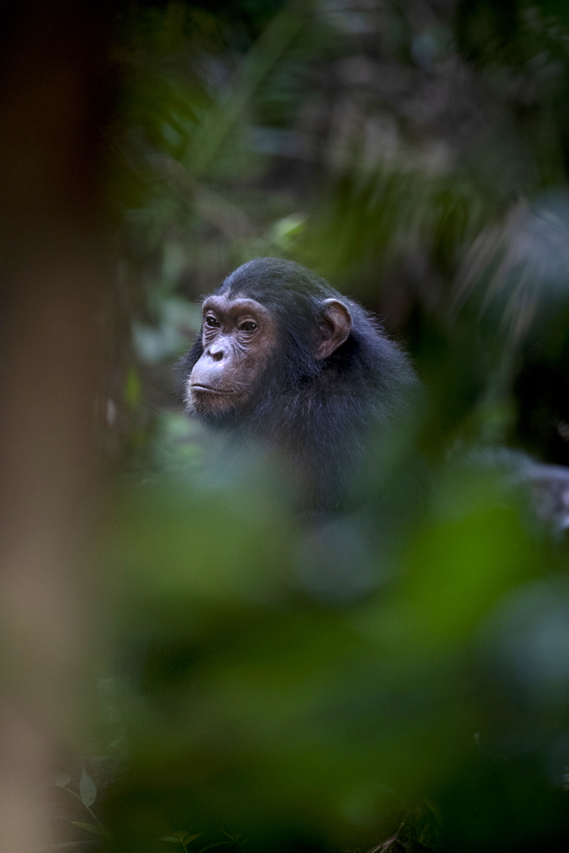 https://www.c4photosafaris.com/uploader/images/Chimps-3.jpg
