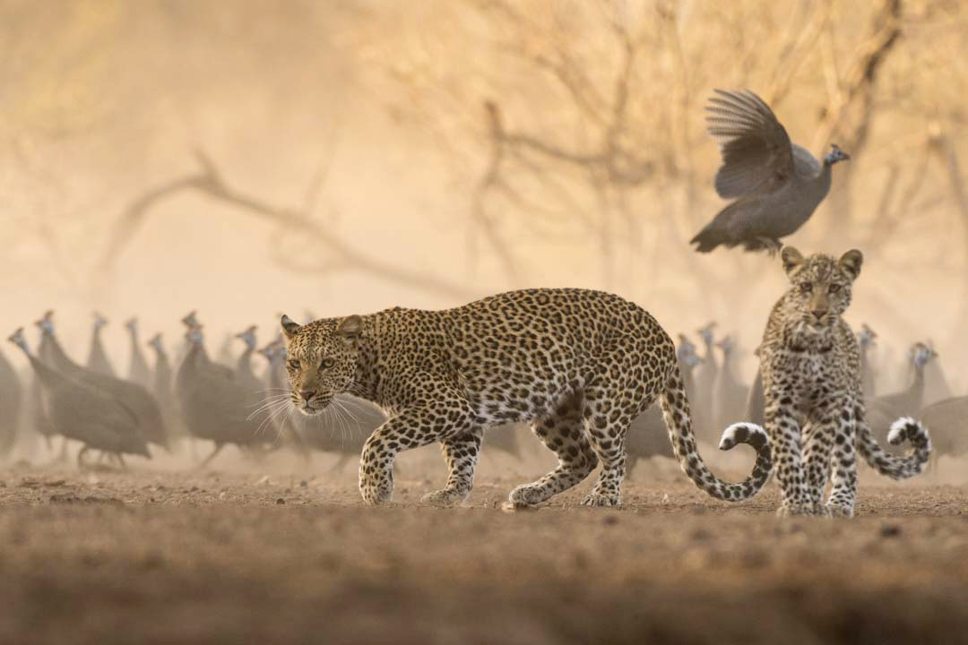 https://www.c4photosafaris.com/uploader/images/JK_Leopard_.jpg