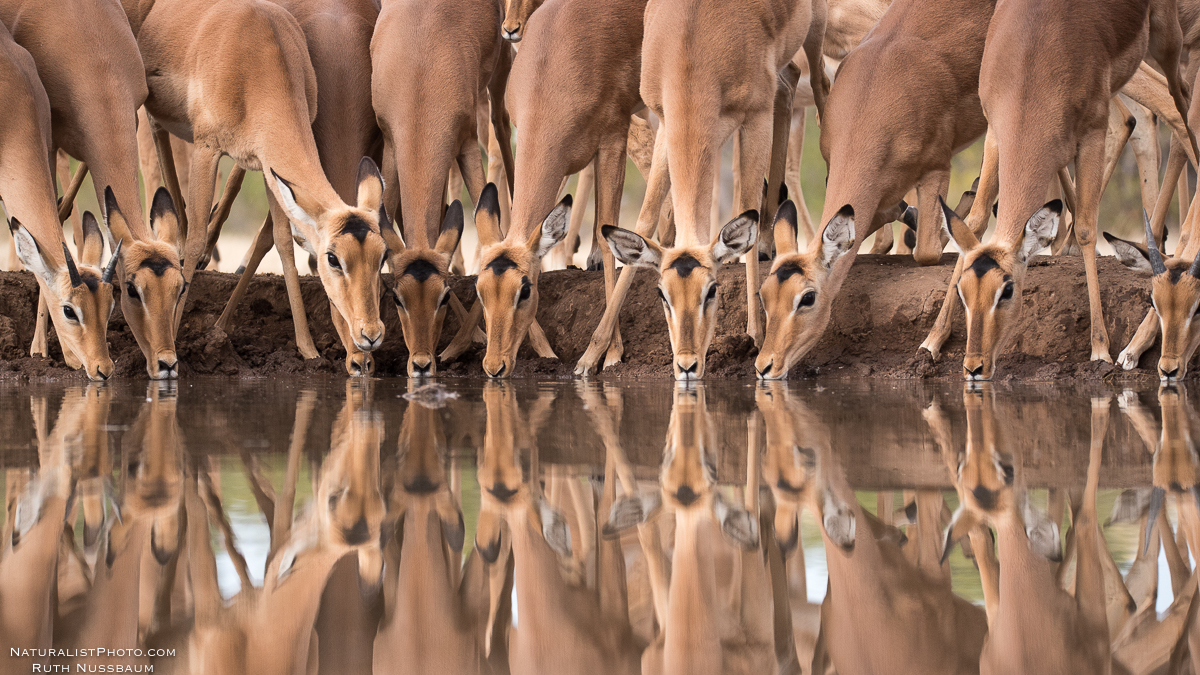 impalas huddle together in safety