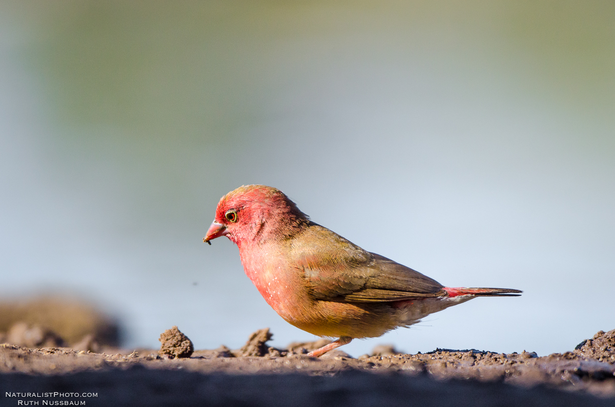 regular red-billed firefinch keeping to its routine