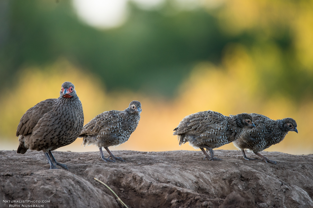 Mother Swainson Francolin and her chicks
